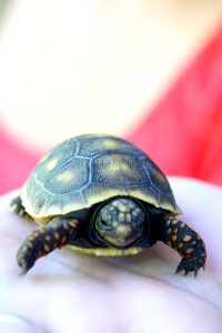 Baby tortise, soon headed to a pet store near you